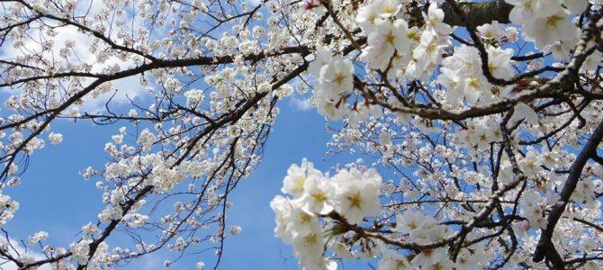 今年も花見を楽しみましょう〜 2017年版 桜開花予想